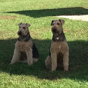 Hildi and Rosie the Airedales