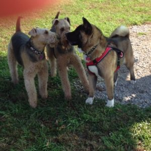Hildi Rosie and Ruger Bowers-Cox the Akita